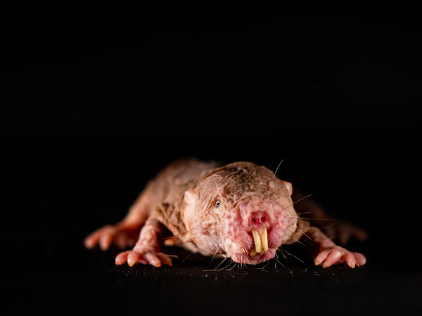 Naked mole rats are very communicative creatures, they quietly chirp, squeak, twitter or even grunt to one another. The scientists wanted to find out whether these vocalizations have a social function for the animals – and found that each colony has its own dialect that promotes social cohesion.