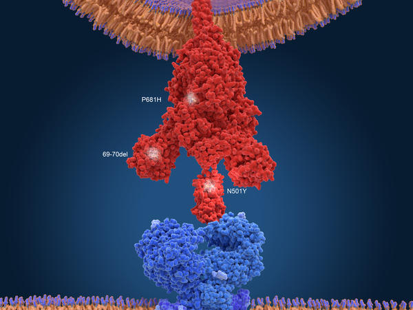 An illustration of the variant found in the United Kingdom. To infect a cell, the virus's spike protein (red) has to bind to a receptor on the cell's surface (blue). Mutations help the virus bind more tightly.