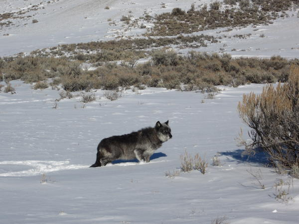 A male grey wolf walks through a snowy field in Wyoming. Wyoming has an estimated 311 grey wolves living in the state following their reintroduction to Yellowstone National Park in the mid-1990s.