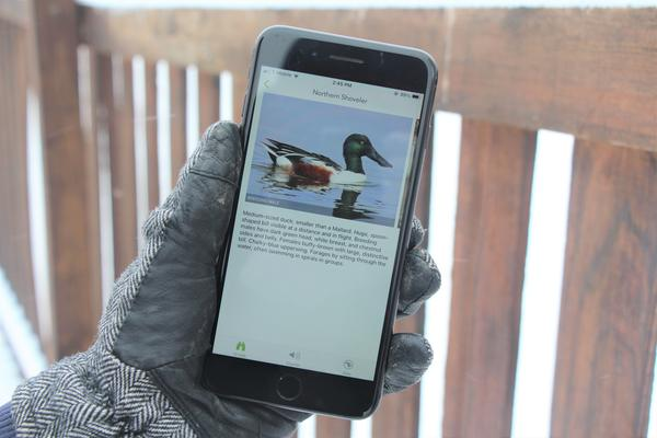 Cornell's Merlin app shows one kind of duck you can find migrating through the Lawrence area this time of year.