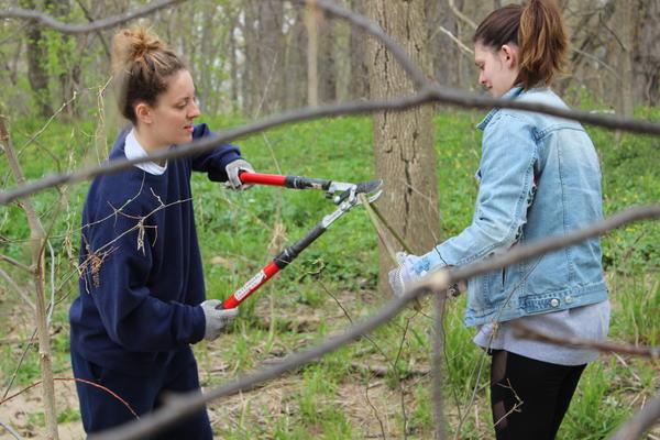 Volunteers harvest live stakes.