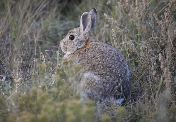 A cottontail rabbit at the Benton Lake National Wildlife Refuge north of Great Falls, Mont. on Oct. 6, 2016