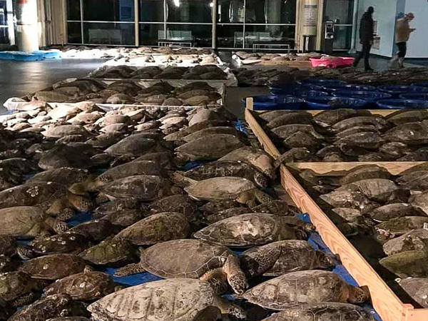 Some of the thousands of cold-stunned sea turtles rescued in South Padre Island, Texas. Volunteers are continuing to rescue the creatures amid freezing temperatures and widespread power outages.