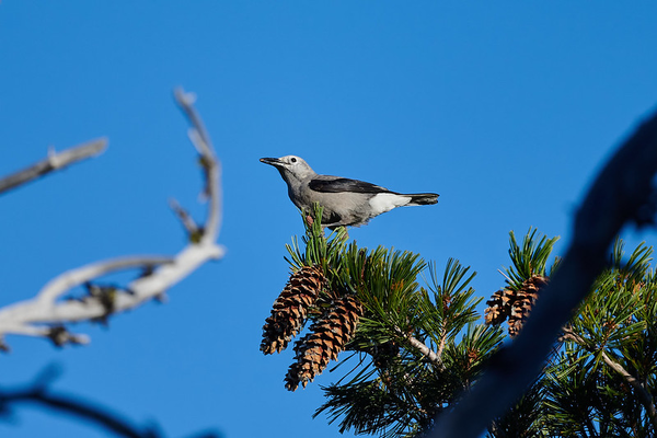 A Clark's nutcracker, named after explorer William Clark, who encountered the bird while floating what is now known as the Salmon River in present-day Idaho.