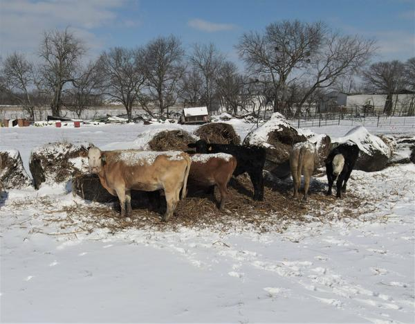Cattle feed on bales of hay at a snow-covered farm in Waxahachie, Texas. Farmers in this state are worried about the impact of the recent winter storm on their crops and livestock.