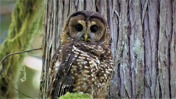A northern spotted owl in the old growth forest of Oregon.