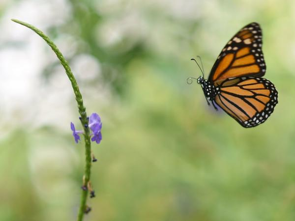 Millions of monarch butterflies arrive each year in Mexico after travelling, in some cases, thousands of miles from the United States and Canada.