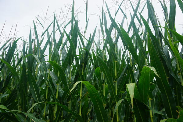 The USDA initially expected this year's corn and soy crops to deliver a record harvest.