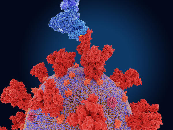 The coronavirus variant first spotted in South Africa alarms scientists because it evolved a mutation, known as E484K, that appears to make it better at evading antibodies produced by the immune system.