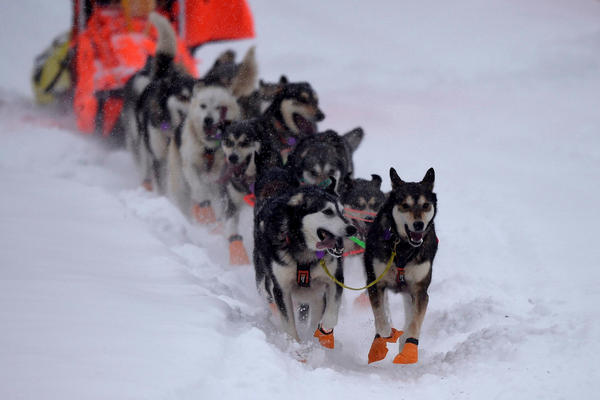 Sled dogs of Thomas Waerner's team run in Willow, Alaska, last year, when he placed first.