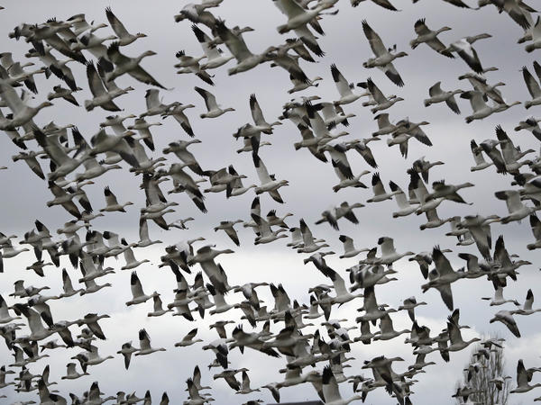 Thousands of snow geese take flight near Conway, Wash., in 2019. The Biden administration is reversing a policy under former President Donald Trump that drastically weakened protections for most U.S. bird species.