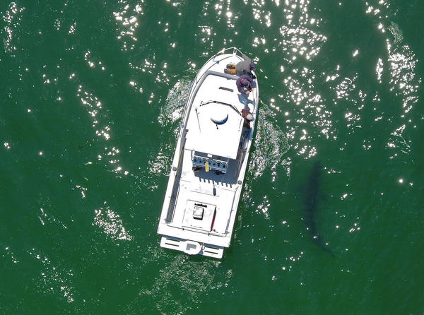 Juvenile white sharks, like this one near Aptos, Calif., are moving into new ecosystems as water warms.