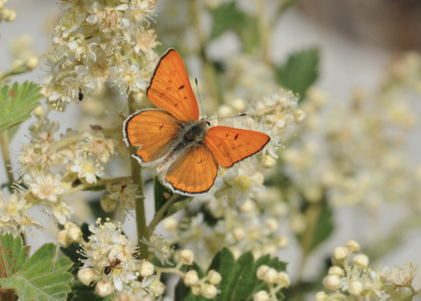 """The butterfly is Lycaena rubidus, the ruddy copper.  That's among our """"top 50"""" declining species."""