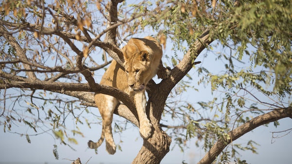 A female African lion, said to be similar to those discovered dead, is pictured in 2013.