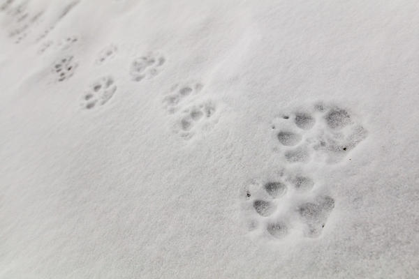 Wolf tracks on Fountain Freight road