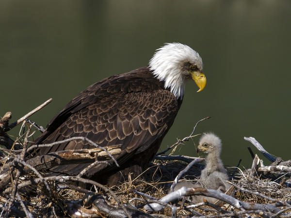 U.S. bald eagle populations have more than quadrupled in the lower 48 states since 2009, according to a new survey from the U.S. Fish and Wildlife Service.