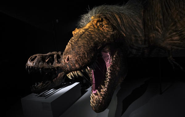 A model of a feathered Tyrannosaurus rex at the American Museum of Natural History in 2019 in New York City. <em>All Things Considered</em> is making amends for its lack of dinosaur coverage.