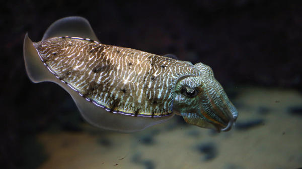 "A cuttlefish swims in an aquarium at the Scientific Center of Kuwait in 2016. Cuttlefish showed impressive self-control in an adaptation of the classic ""marshmallow test."""