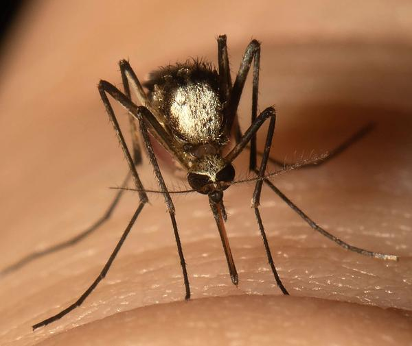 <em>Aedes scapularis</em> mosquitoes can carry yellow fever and are well-established in two South Florida counties.