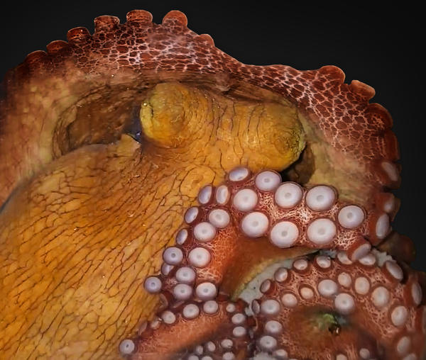 An octopus in active sleep — possibly dreaming.