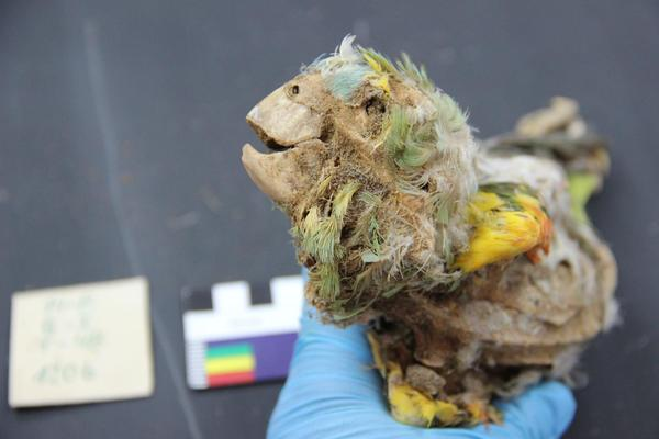 Researchers identified a mummified Blue-Fronted Amazon parrot, recovered from an ancient cemetery in the Atacama Desert.