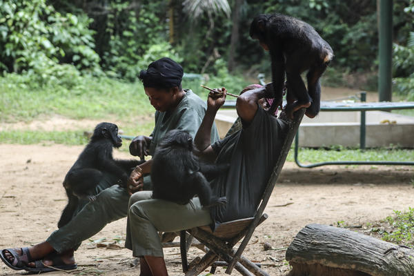 A trio of young bonobos play under the watchful eyes of their caregivers..