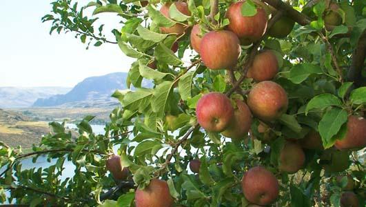 File photo. Exports of Washington's signature apple crop are down nearly 20 percent this year compared to the same time last year due to multiple factors.