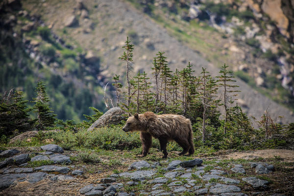 A grizzly bear in Glacier National Park