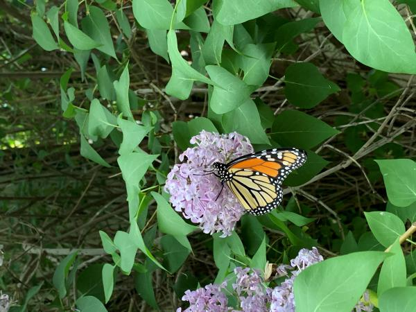 The Monarch butterfly is one of the best known species that's in decline.