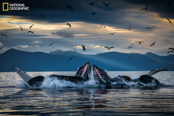 Humpback whales, working in teams, circle herring with disorienting curtains of bubbles off Alaska's coast, then shoot up from below with their mouths open. This innovation developed among unrelated groups of humpbacks but is now a widely adopted practice.