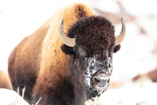A bison raises its head after eating grass beneath the snow in Yellowstone National Park.