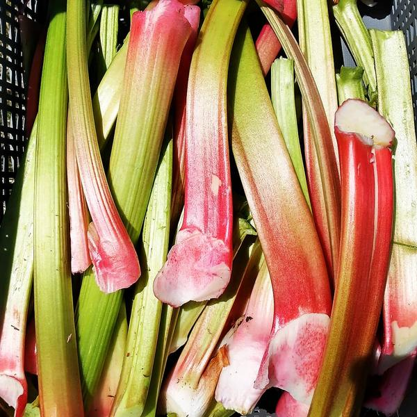 Last week's cold snap had farmers making some difficult choices, including harvesting rhubarb and some other crops early to avoid damage from the cold.