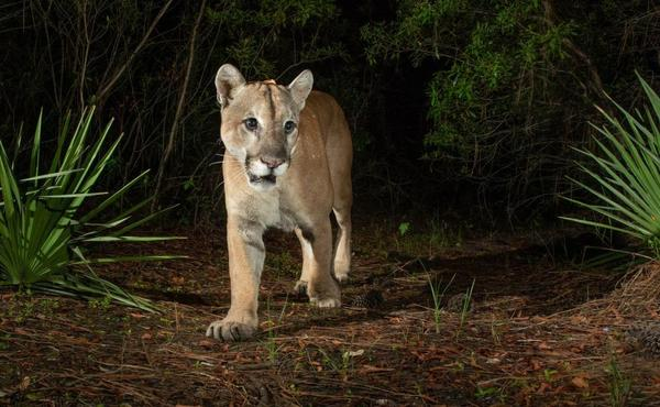 A Florida Panther is captured in a camera trap