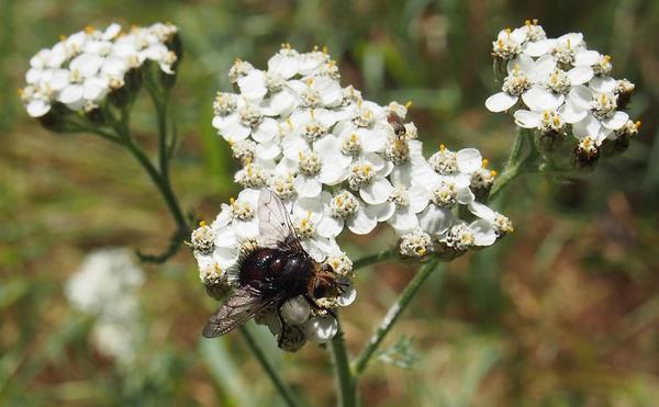 A species of bee fly sits on common yarrow flowers.