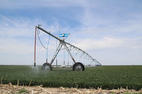 Center pivot irrigation sprinklers water a wheat field in Finney County.