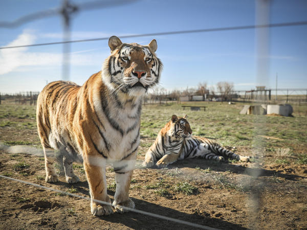 Two of the 39 tigers, seen last year in Colorado, rescued from the big-cat facility once owned by Joe Exotic and now owned by Jeffrey and Lauren Lowe.