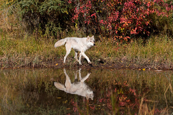 An adult grey wolf walks at waters edge in Montana in October 2018. Twenty-five years ago, federal wildlife officials reintroduced wolves to Idaho. Recovery went well enough that in 2011 the animal came off the endangered species list. Since then, hunters have legally killed hundreds every year.