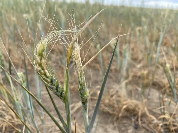 Curled heads of wheat show the drought damage on Nicole Berg's ranch in southeast Washington state.