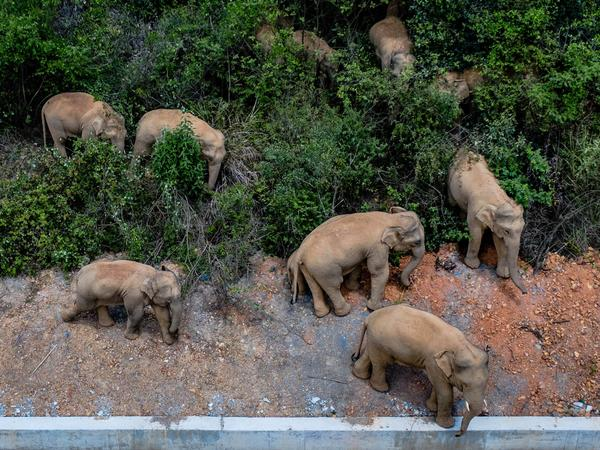 Authorities are tracking 15 wild Asian elephants in southwest China's Yunnan Province as the herd migrates north.
