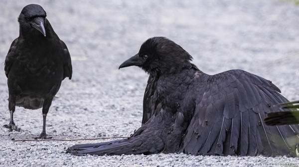 """""""I noticed there were like little bumps all over this bird that was flopping around,"""" photographer Tony Austin says of a crow he documented. """"And sure enough, it was covered in ants."""""""