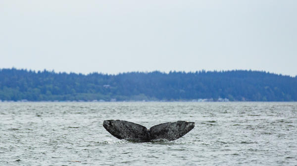 The gray whale known as Dubknuck has been coming to Puget Sound since 1991. Scientists believe a small pod of these whales has survived several die off events by developing a new feeding strategy.