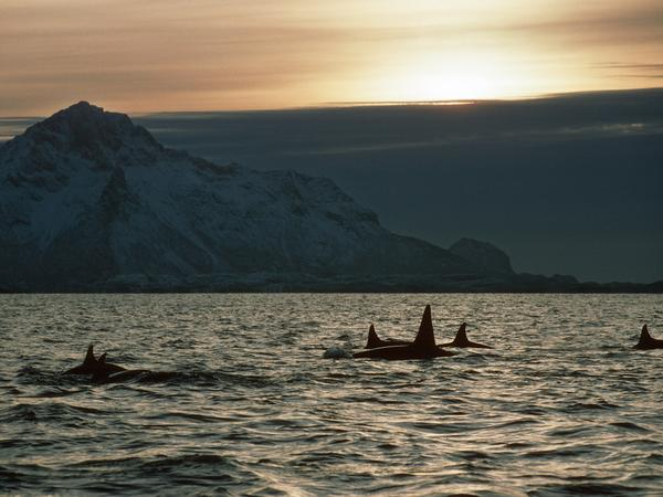 A plan to trap baleen whales in Norway and test their hearing is getting pushback from some scientists and environmentalists who say it is too risky.