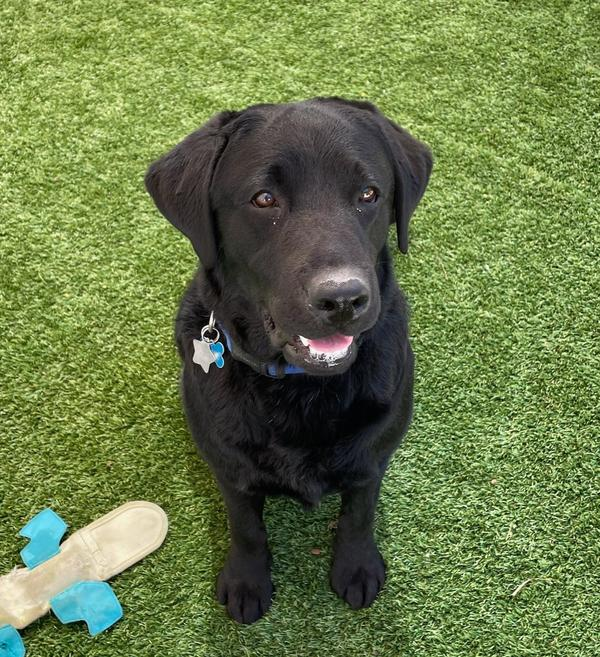 Lila, a 2-year-old black Labrador retriever, is joining the U.S. Capitol Police force as an emotional support animal.