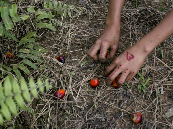 In this Nov. 13, 2017, AP file photo, a child collects palm kernels from the ground at a palm oil plantation in Sumatra, Indonesia. Indonesia is the world's largest palm oil producer.