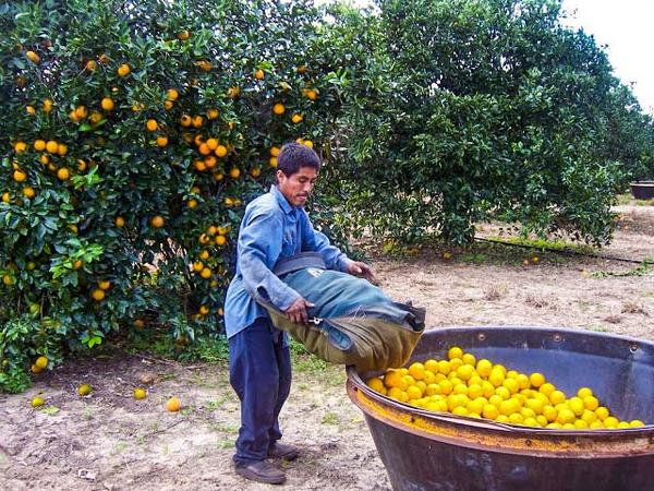 A farmworker in Indian River County, Florida harvests lemon citrus.