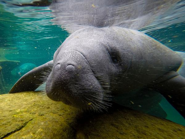 Manatees are large marine mammals native to Florida that spend their time grazing on sea grass in shallow coastal areas. Since January, recorded manatee deaths have been nearly triple that of the same period for each of the past five years.
