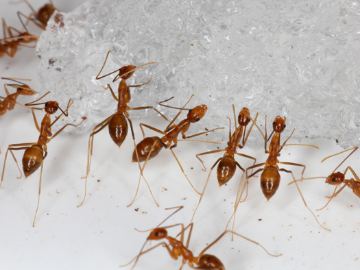 The yellow crazy ant was last spotted by Crazy Ant Strike Teams on the vital seabird nesting grounds in December 2017, but it was too soon to tell if they'd been fully extinguished because their colonies are found underground.