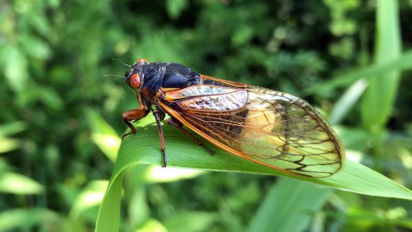 A small number of cicadas become infected by a fungus called <em>Massospora</em>,<em> </em>which causes the production of cathinone — an amphetamine.