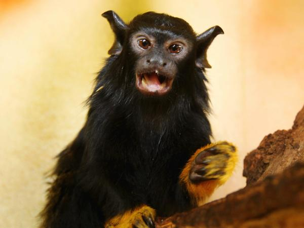 A young, red-handed tamarin monkey. Some of these monkeys are changing their vocal call to better communicate with another species of tamarin.