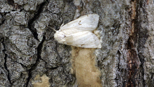 A female <em>Lymantria dispar</em> moth lays her eggs on the trunk of a tree in Connecticut in 2008. In July 2021, the Entomological Society of America announced it was dropping the common name of this destructive insect that is also an slur against a group of people: the gypsy moth.